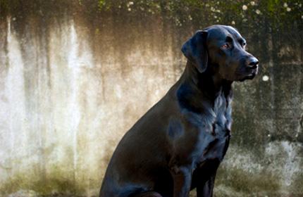 Un Labrador Abattu Par Un Policier A Toulouse Apres Avoir Mordu Un De Ses Collegues Et Deux Autres Personnes