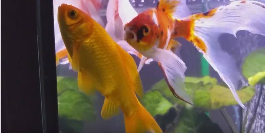 Belgique un h tel vous propose de louer un poisson rouge for Acheter poisson rouge liege