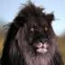 Portrait de Lion Noir