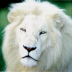 Portrait de Lion Blanc