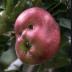 Portrait de Pomme homme