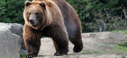 Italie: Polémique après la mort d'un ours appartenant à une espèce menacée pendant une opération de capture d'animaux