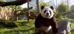"""Voici l'importante somme que doit verser le zoo de Beauval à la Chine pour """"louer"""" des pandas géants - Regardez"""