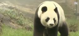 Morandini Zap: Huan Huan, la panda star du Zoo de Beauval, est enceinte - L'annonce fait le tour du monde !
