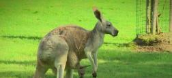 Un kangourou est mort dans un zoo en Chine après avoir été la cible de jets de pierres de la part de visiteurs