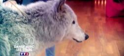 """""""Danse avec les stars"""": Sous la pression de l'association Peta et des internautes, TF1 annule la séquence prévue avec un loup ce soir"""