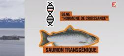 Morandini Zap: Le Canada devient le premier pays à vendre du saumon transgénique, mais qu'est-ce que c'est ? - Regardez