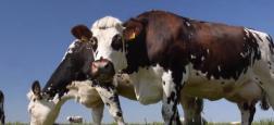 Trois vaches qui avaient été emportées par l'ouragan Dorian en septembre sur la côte Est américaine ont été retrouvées vivantes sur une île !