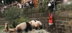 Morandini Zap: Frayeur en Chine dans un zoo où une jeune fille tombe dans un enclos avec des pandas - VIDEO