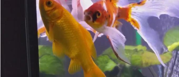 Poisson rouge jean marc morandini for Acheter poisson rouge liege