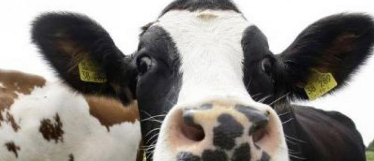 Trouverlebontaureau.com, le site de rencontre pour... vaches